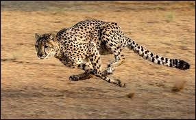 Quelle vitesse maximale le guépard peut-il atteindre ?