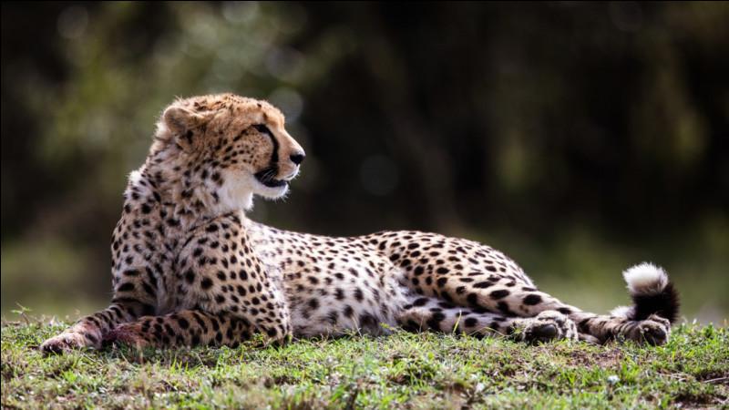 Où peut-on trouver le guépard (lorsqu'il n'est pas en captivité) ?