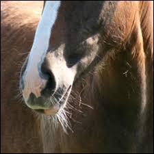 Comment s'appellent les long poils durs que le cheval a sur les lèvres ?