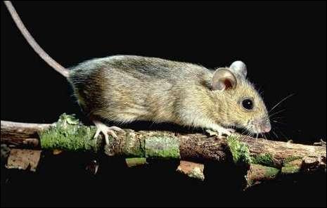Qui débarrassa la ville de Hamelin de ses rats comme par enchantement ?