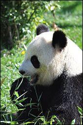 Voici l'un des pandas du zoo, Yuan Zi est le mâle et le suivant la femelle, comment se nomme-t-elle ?