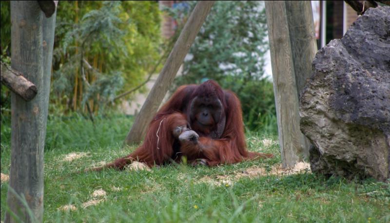 Vous pouvez voir un orang-outan de Bornéo dans ce zoo.