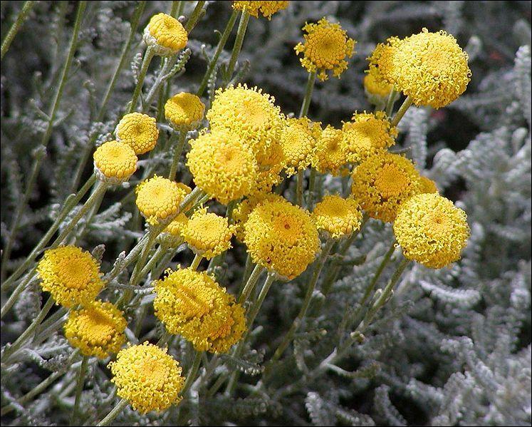 """Quel est le nom de ces fleurs de rocaille, appelées aussi """"petits-cyprés"""" ?"""