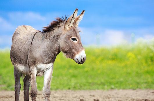 Culture générale sur l'âne
