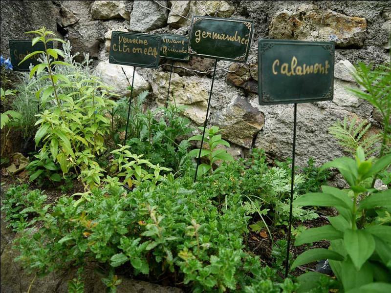 Mme H****** s'efforce, dans son jardin suspendu, de reconstituer l'herbarium des plantes rapportées d'Orient au XIIe et XIIIe s. Mais à quoi servait la germandrée ?