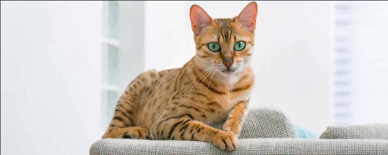 Les chats roux ont-ils un fort caractère ?