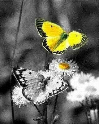 De quelle couleur est le papillon nommé solitaire ?