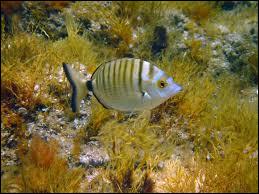 Sa comme sar : quel est l'autre nom de ce poisson ?