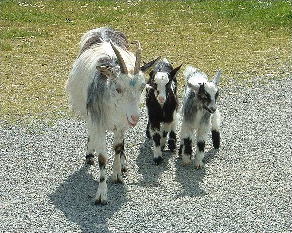 """La """"chèvre des fossés"""", extrêmement rustique, est une authentique débroussailleuse """"sans plomb"""" : elle nous vient ..."""