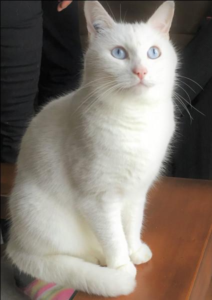 Comment s'appelle ce chat blanc qui se trouve dans beaucoup de vidéos ?
