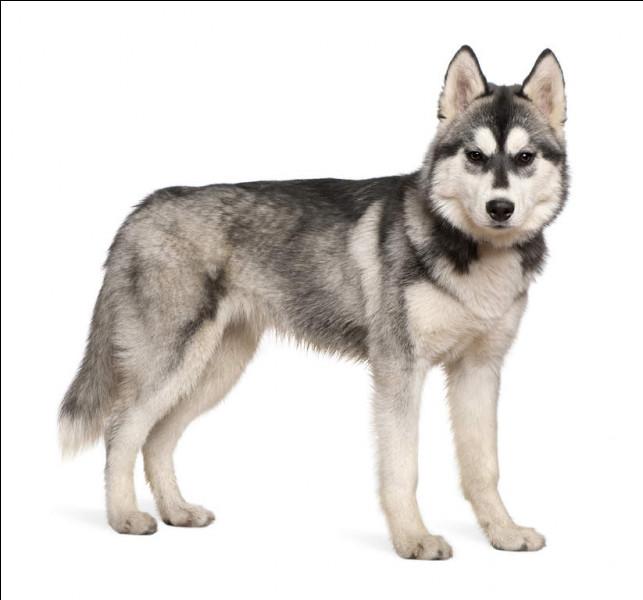 Quelle est cette race de chien et dans quel climat vit cette espèce ?