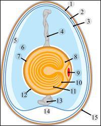 Quelle partie de l'œuf est représentée par le numéro 14 sur ce schéma ?