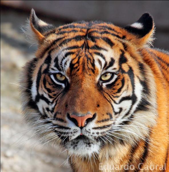 Comment dit-on ''tigre'' en anglais ?