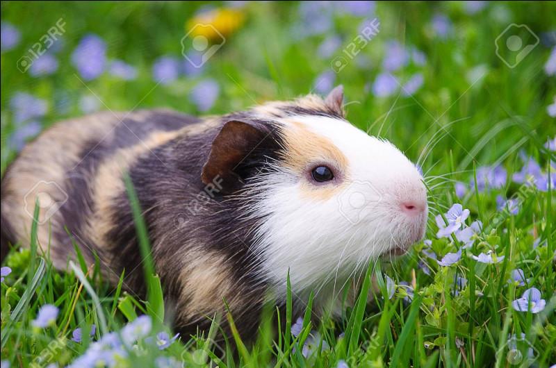 Comment dit-on ''cochon d'Inde'' en anglais ?