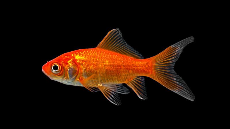 Comment dit-on ''poisson'' en anglais ?