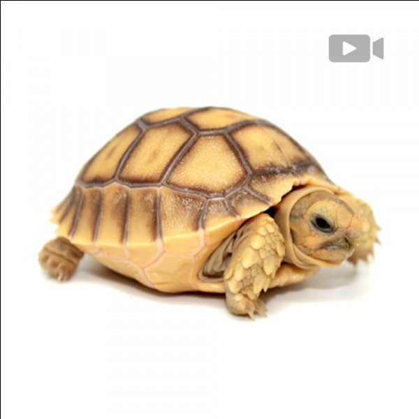 Comment dit-on ''tortue'' en anglais ?