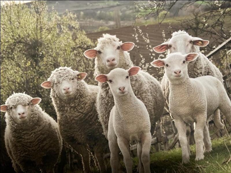 Comment dit-on ''mouton'' en anglais ?