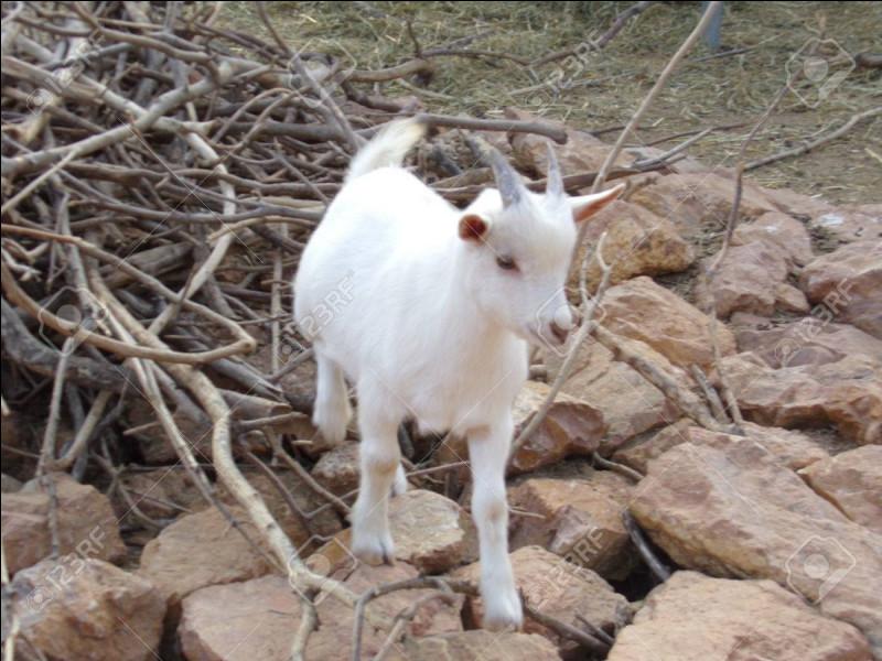 Comment dit-on ''chèvre'' en anglais ?