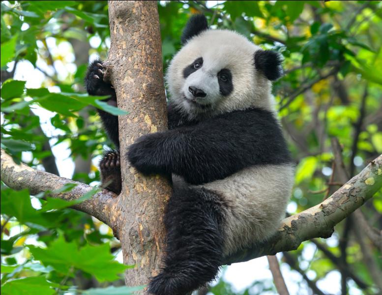 Comment dit-on ''panda'' en anglais ?