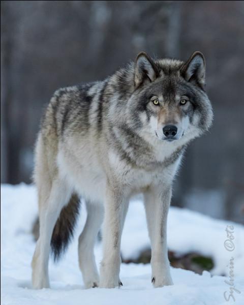Comment dit-on ''loup'' en anglais ?