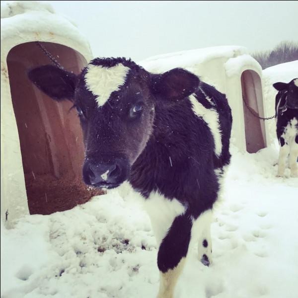 Comment dit-on ''vache'' en anglais ?
