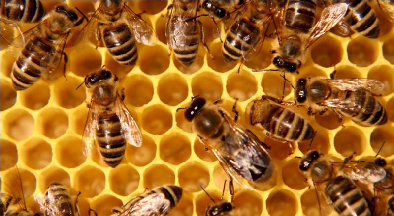 Comment s'appelle l'élevage d'abeilles en vue de récolter du miel ?