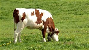 La vache possède un estomac à 4 poches appelées la panse, le bonnet, le feuillet et la caillette.Il faut dire qu'elle _______ toute la journée !