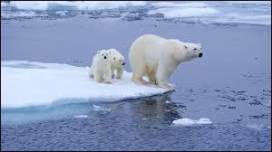 Quel est cet animal directement impacté par le changement climatique ?