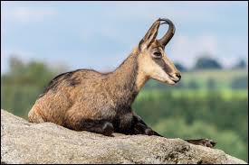 Quel est cet animal ? Le col des Annes (Alpes)