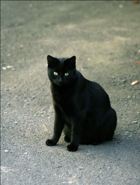 D'après les superstitions, quelle est la couleur de chat maudite ?