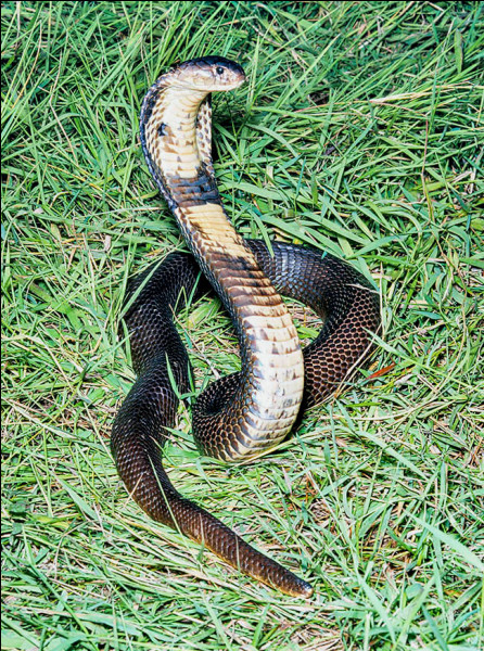 Na comme naja : le naja est un serpent de la famille des :