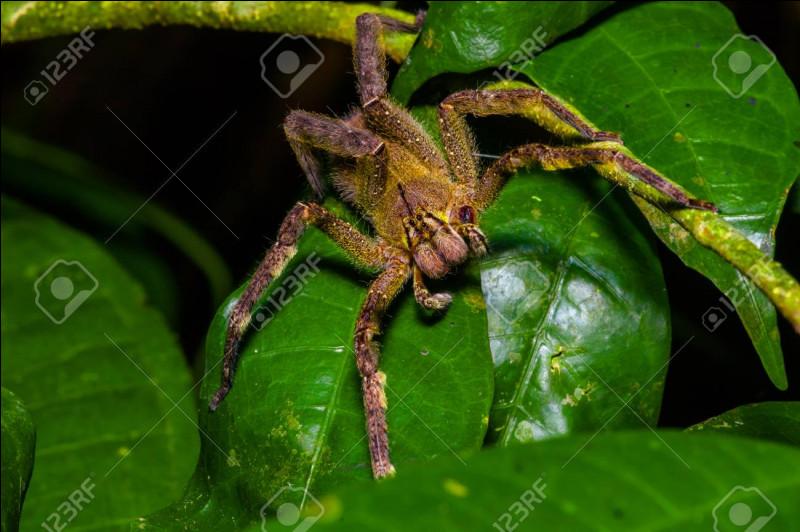 En dehors de sa morsure, souvent très douloureuse, que peut provoquer chez l'homme une morsure d'araignée errante (araignée banane) d'Amérique du Sud ?