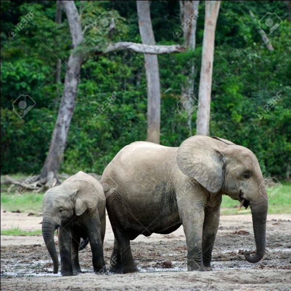 L'éléphant est-il carnivore ou herbivore ?