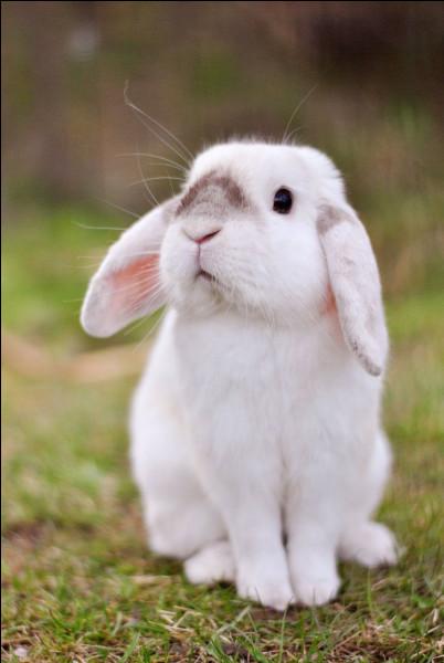 Le lapin est-il carnivore ou herbivore ?