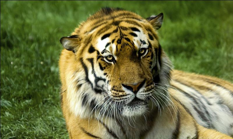 Le tigre est-il carnivore ou herbivore ?