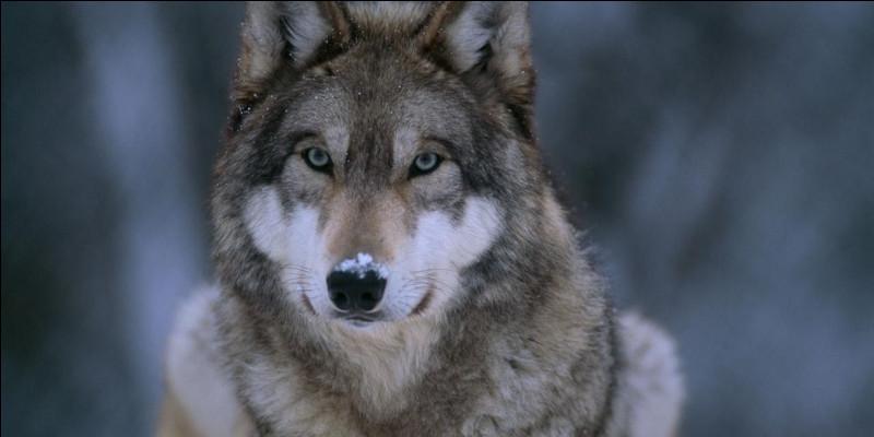 Le loup est-il carnivore ou herbivore ?