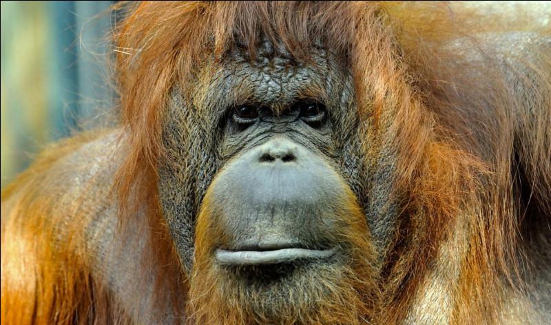 On continue avec l'orang-outan : est-il carnivore ou herbivore ?