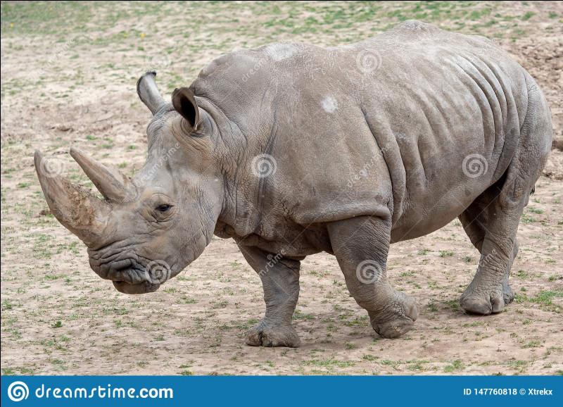 Le rhinocéros est-il carnivore ou herbivore ?