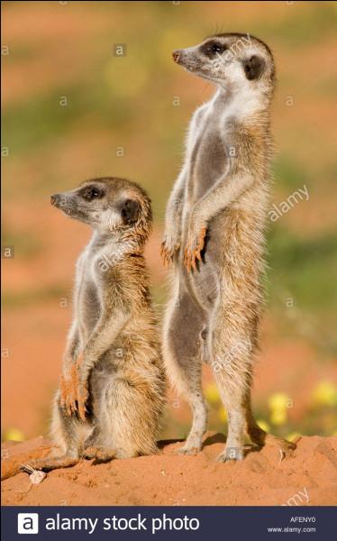 Le suricate est-il carnivore ou herbivore ?