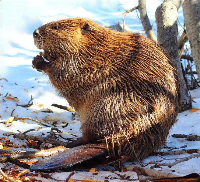 Le castor est-il carnivore ou herbivore ?