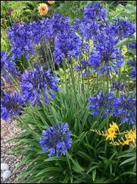 Plante (4) - L'agapanthe