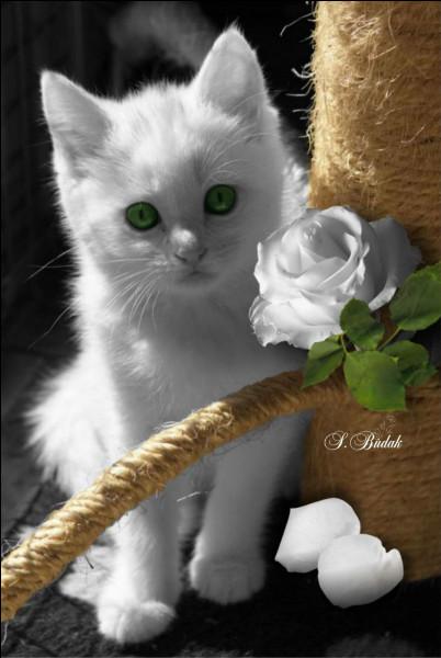 À quelle infirmité le chat blanc est-il plus exposé que les autres chats ?