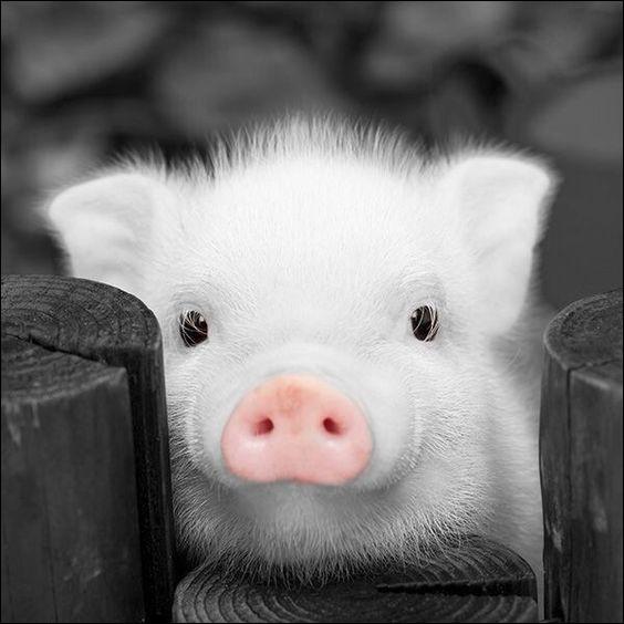 Ne parlons pas des cochons roses, mais plutôt des cochons noirs ! Comment sont appelées les cochons sauvages de couleur noire, originaires de Corse ?