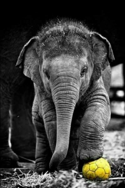 Que peut-on dire à propos du cerveau de l'éléphant ? Par rapport à sa taille et sa masse corporelle, l'éléphant est le mammifère ayant...