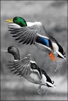 Chez les canards Colvert, on peut reconnaître le mâle ou la femelle à son cri. Lequel des deux a le cri le plus rauque et bruyant ?