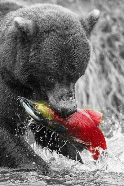 Comment est appelé l'ours noir d'Amérique ?