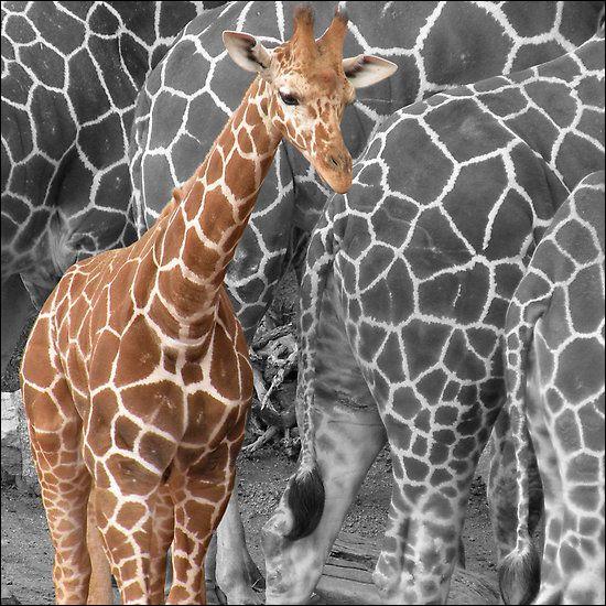 Même question pour la girafe : quel est le nombre de ses vertèbres cervicales ?