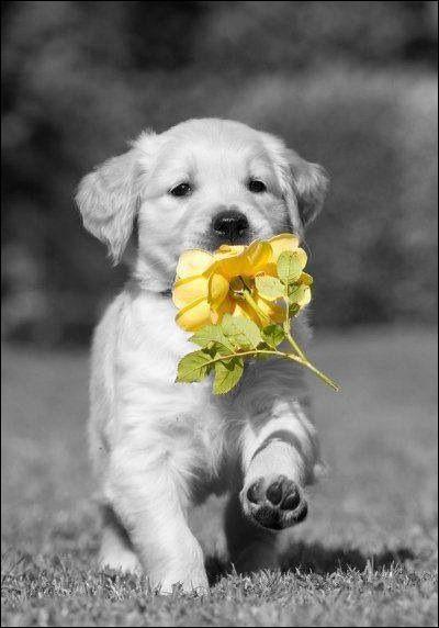 Le golden retriever peut-être un chien :