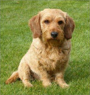 Les races de chiens en B (2)
