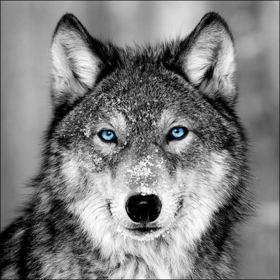Dans quelle(s) équipe(s) se trouve le chien-loup ?